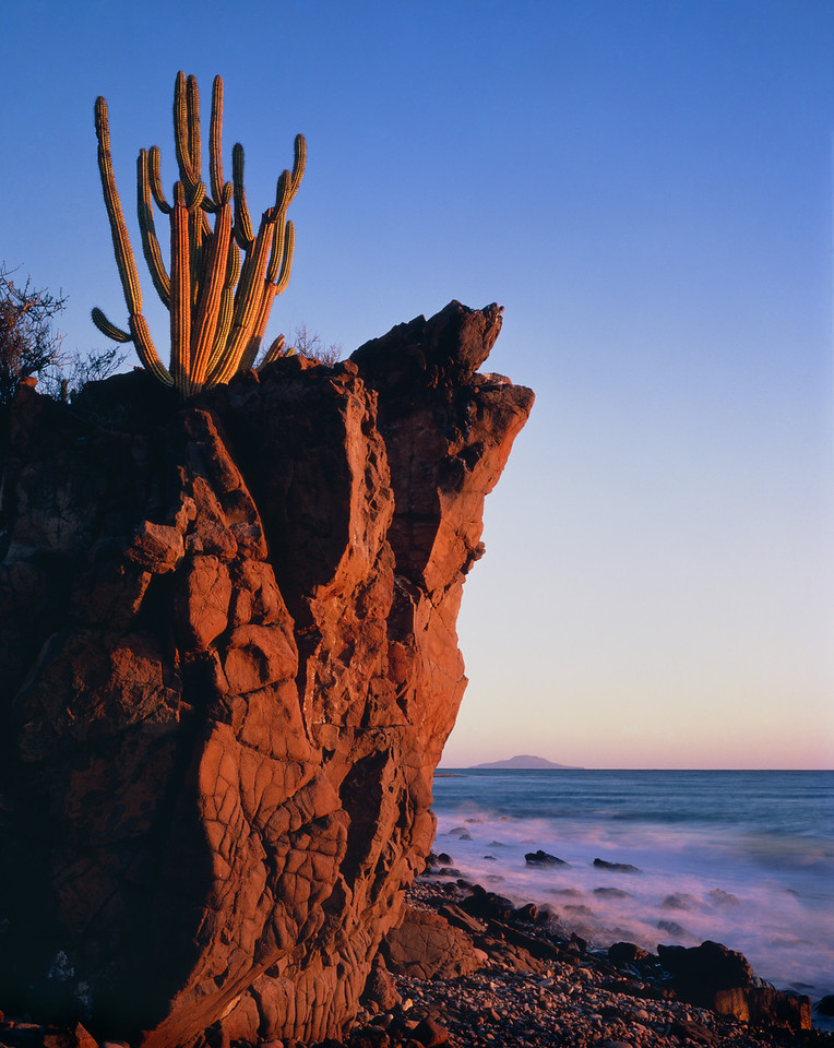 Baja California Sur,, MEX/Organpipe cactus (Cereus thurberi) rooted in volcanic rock at the edge of the Sea of Cortez at dawn. 290v                           afa