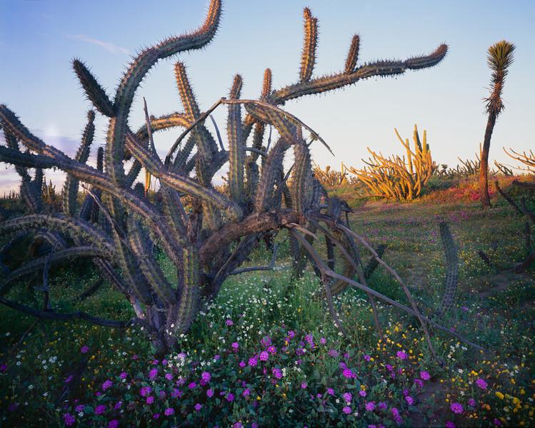 Baja California Sur, Mex., MEX/Vizcaino Desert. Galloping Cactus (Stenocereus gammosus) with Sand Verbena (Abronia villosa) and Rock Daisies (Perityle emoryi).295H4