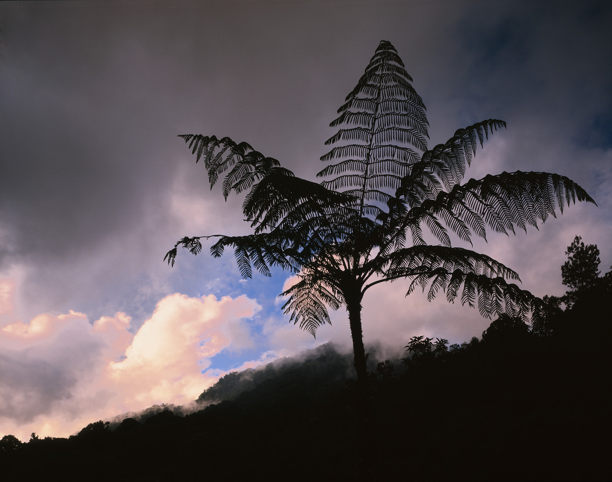 El Triunfo Biosphere Reserve, Chiapas, MEX / Tree ferns, Helecho (Spanish) Cyathea sp., in cloud-forest silhouetted against sunset after passing storm. 408H2