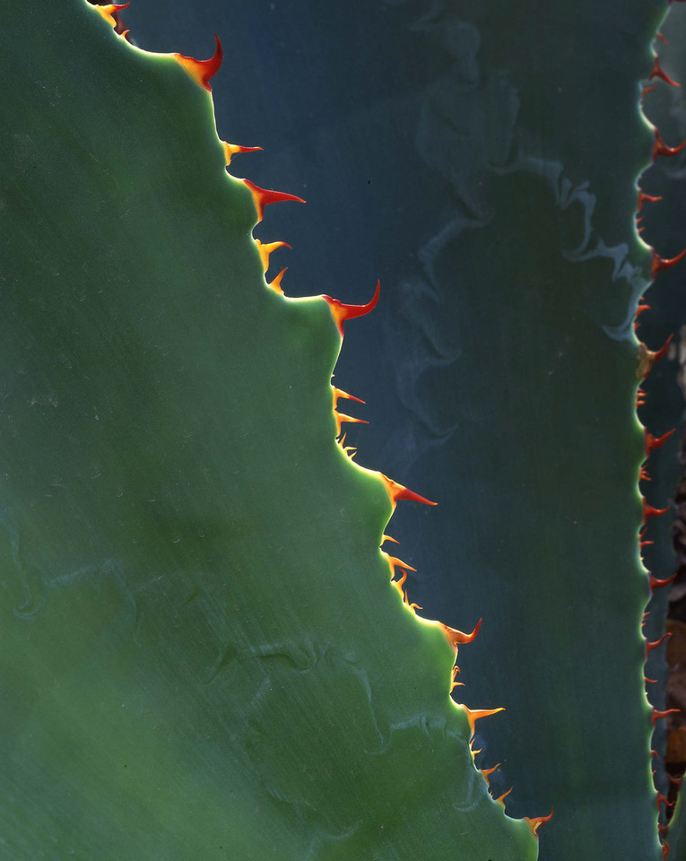 Sierra Alamos, tropical, MEX/deciduous forest, with Lechuguilla (Agave bovicornuta) near Alamos Sonora.  191v