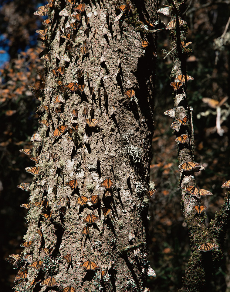 Monarch Butterfly Biosphere Reserve, Michoacan, Mexico / Monarch Butterflies, Danaus plexippus, on tree trunk under coniferous forest, Sierra Chincua. 12002V2