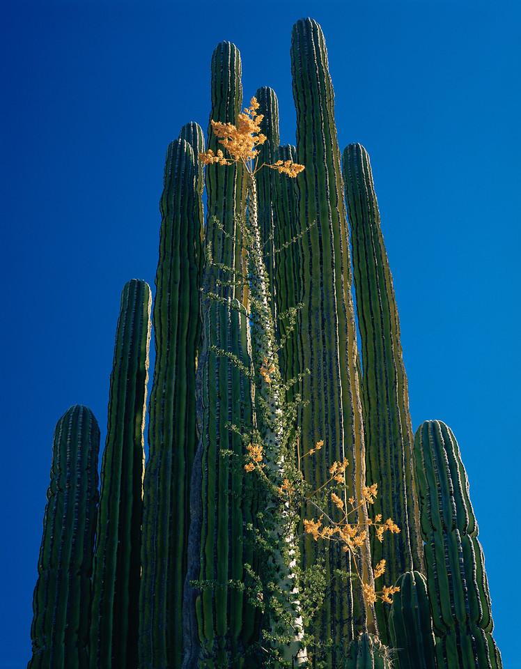 Baja California, Boojum, MEX/(Idria columnaris) & Cardon (Pachycer- eus pringlei)Catavinia.1/89v  xc
