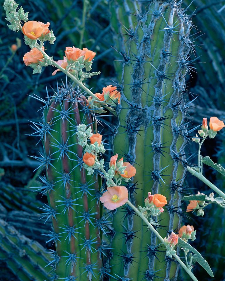 Tres Virgenes, Baja Sur, MEX/ Galloping cactus (Machaerocereus gummosus) with flowering globemallow (Sphaeralcea sp.). 393v12
