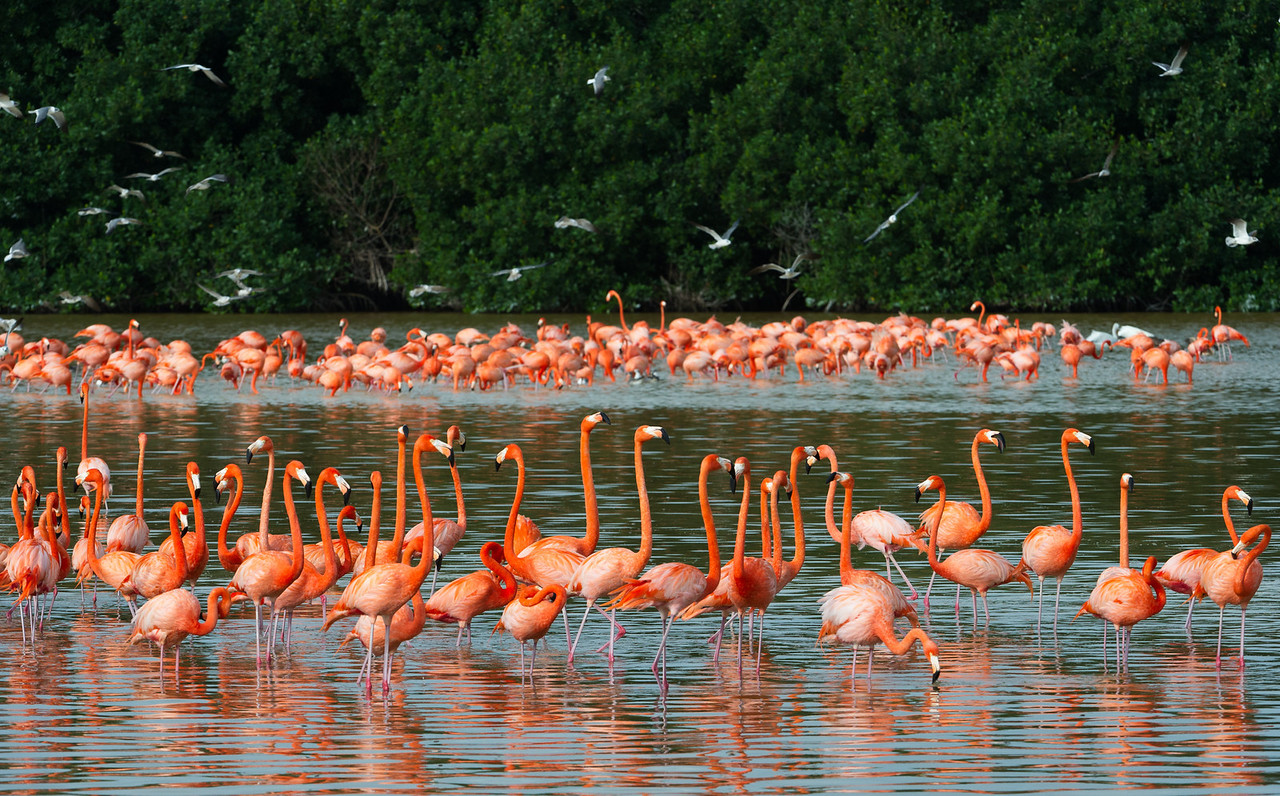 Greater flamingos & lauging gulls,in the Ria Celestun Biosphere Reserve, Yucatan state, Mexico