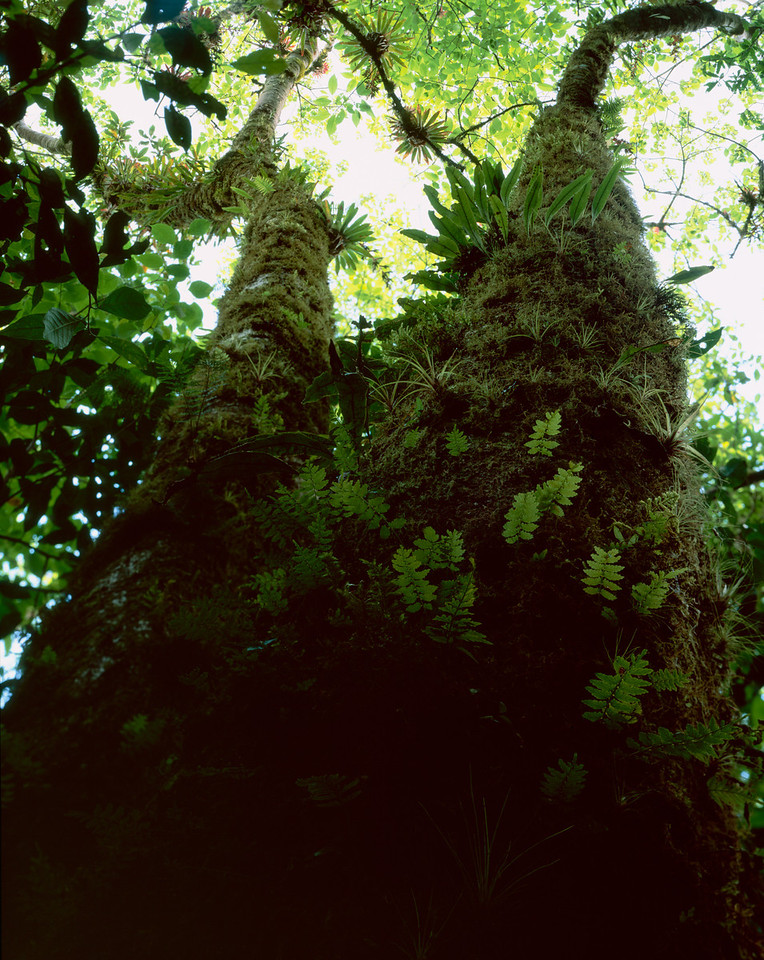 El Triunfo Biosphere Reserve, Chiapas, MEX / Wood ferns ring the moss covered tree in the dense forest understory. 408V2