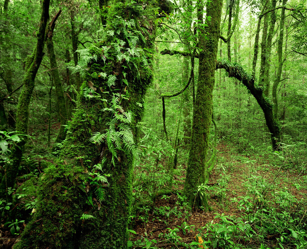 Tamaulipas, Mexico / El Cielo Biosphere Reserve cloud forest with rain-soaked ferns and moss covered dense forest. 1003H2