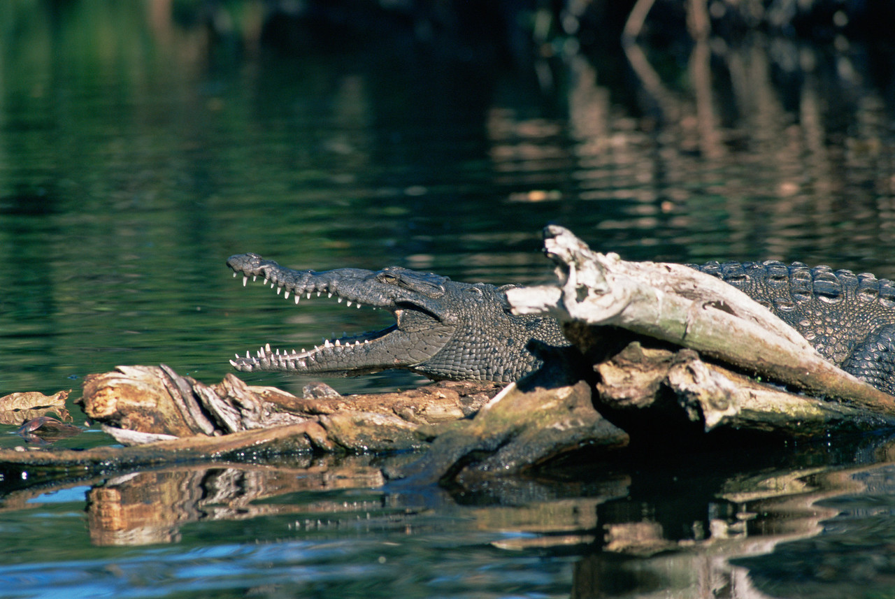 La Tovara Wetlands, San Blas, Nayarit,Mex. Crocodile basking in the sun attop log in swamp. 199H2
