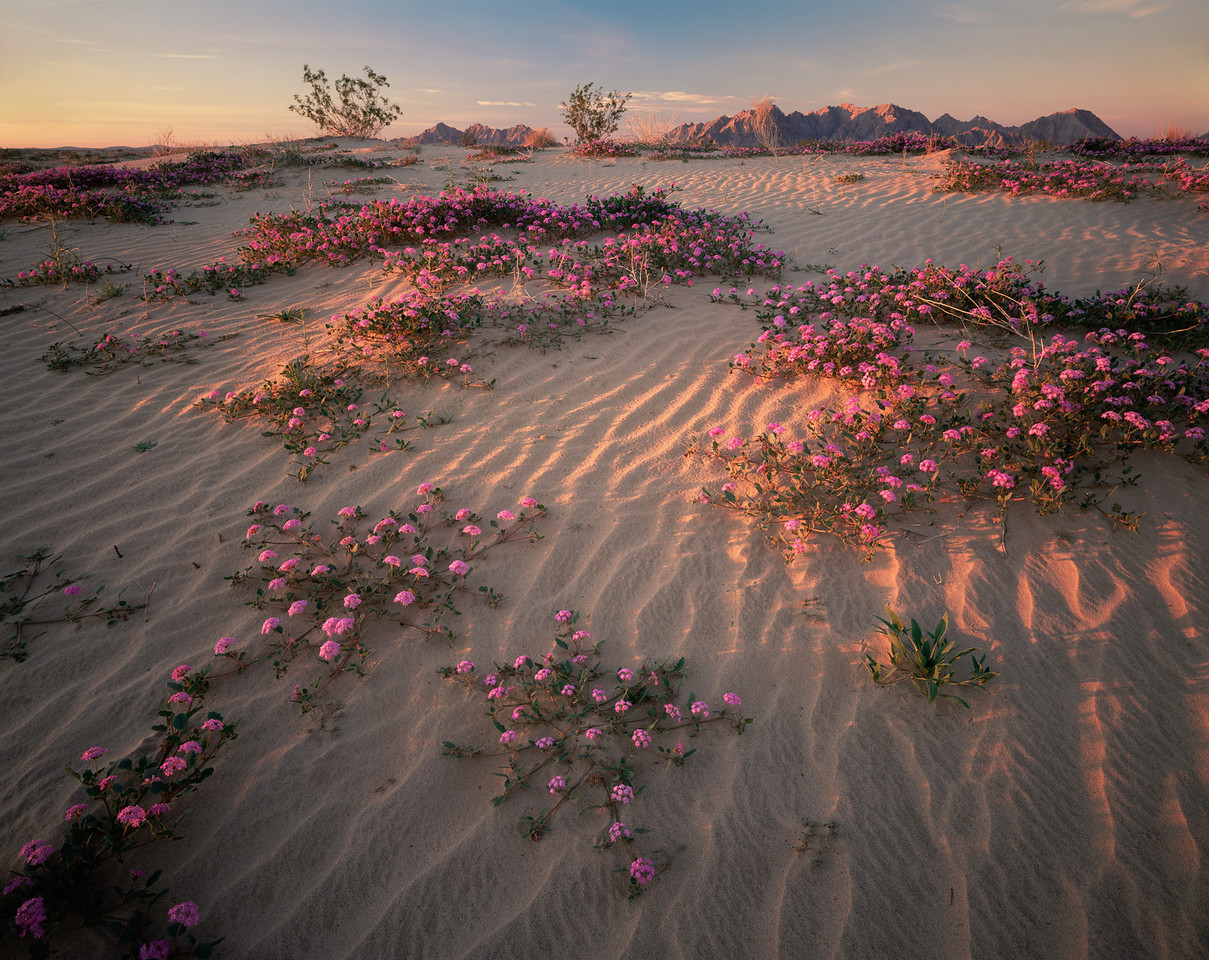 Biosphere Reserve of the, MEX/Pinacate & Gran Desierto Altar, Mexico Flowering Sand Verbena (Abronia villosa) amid Creosote bushes (Larrea tridentata) Sierra del Rosario.backgrnd1197H10