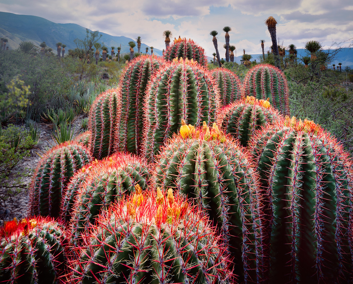 Barrel Cacti, Ferocactus stainsii, with Yuccas in background in Tamaulipas, Mexico inthe Sierra Madre ringed desert.