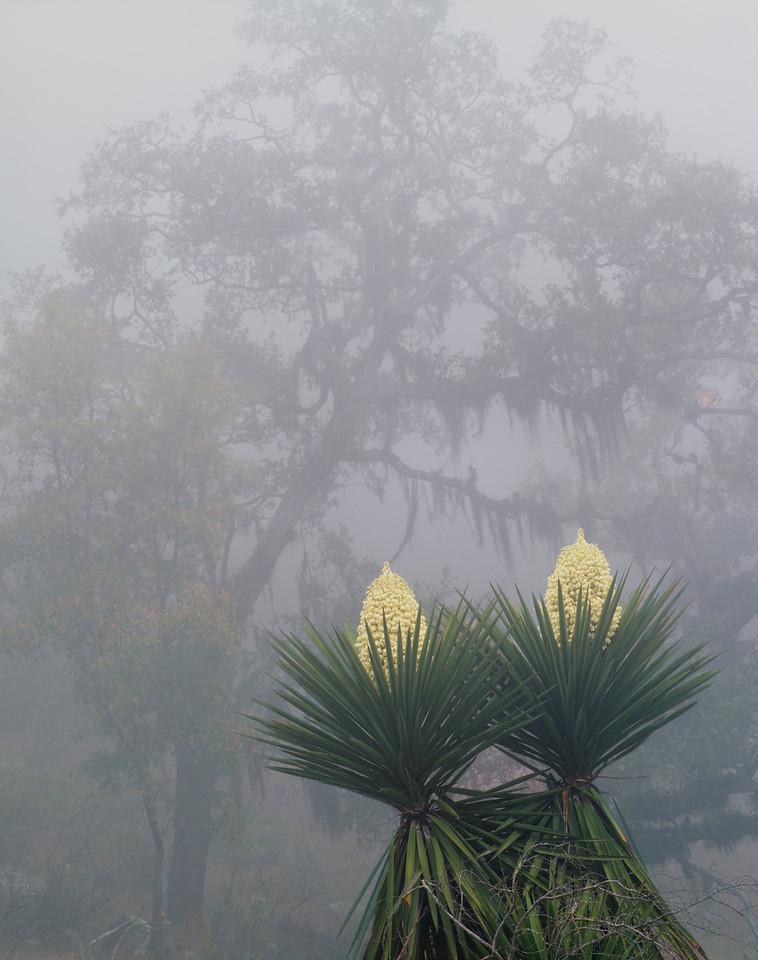 Tamaulipas, Sierra Tamaulipas, Mexico / Flowering Yucca, Yucca carnerosana, before fog-shrodded oak, Quercus risophylla, draped with Spanish moss, Tillandsia usneoides.