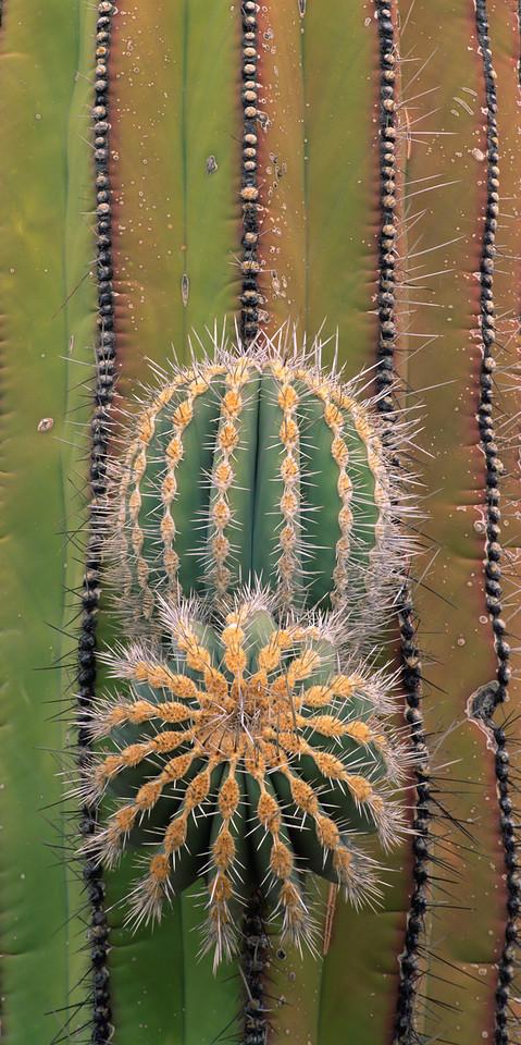 "Baja California, Mexico / Desierto Central, Cardon cactus, Pachycereus pringlei, with emerging ""arms"" with radiating patterns, in overcast light. 306VP2"