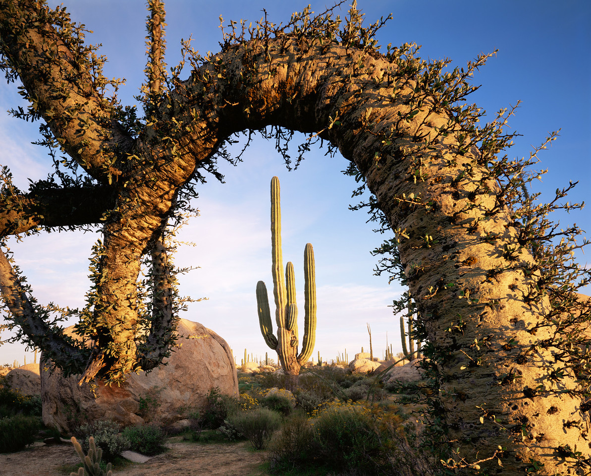 Baja, California, Mexico, MEX/Desierto Central near Catavina. Boojum (Fouquieria columnaris) frames Cardon cactus (Pachycereus pringlei) at sunset. 395H9