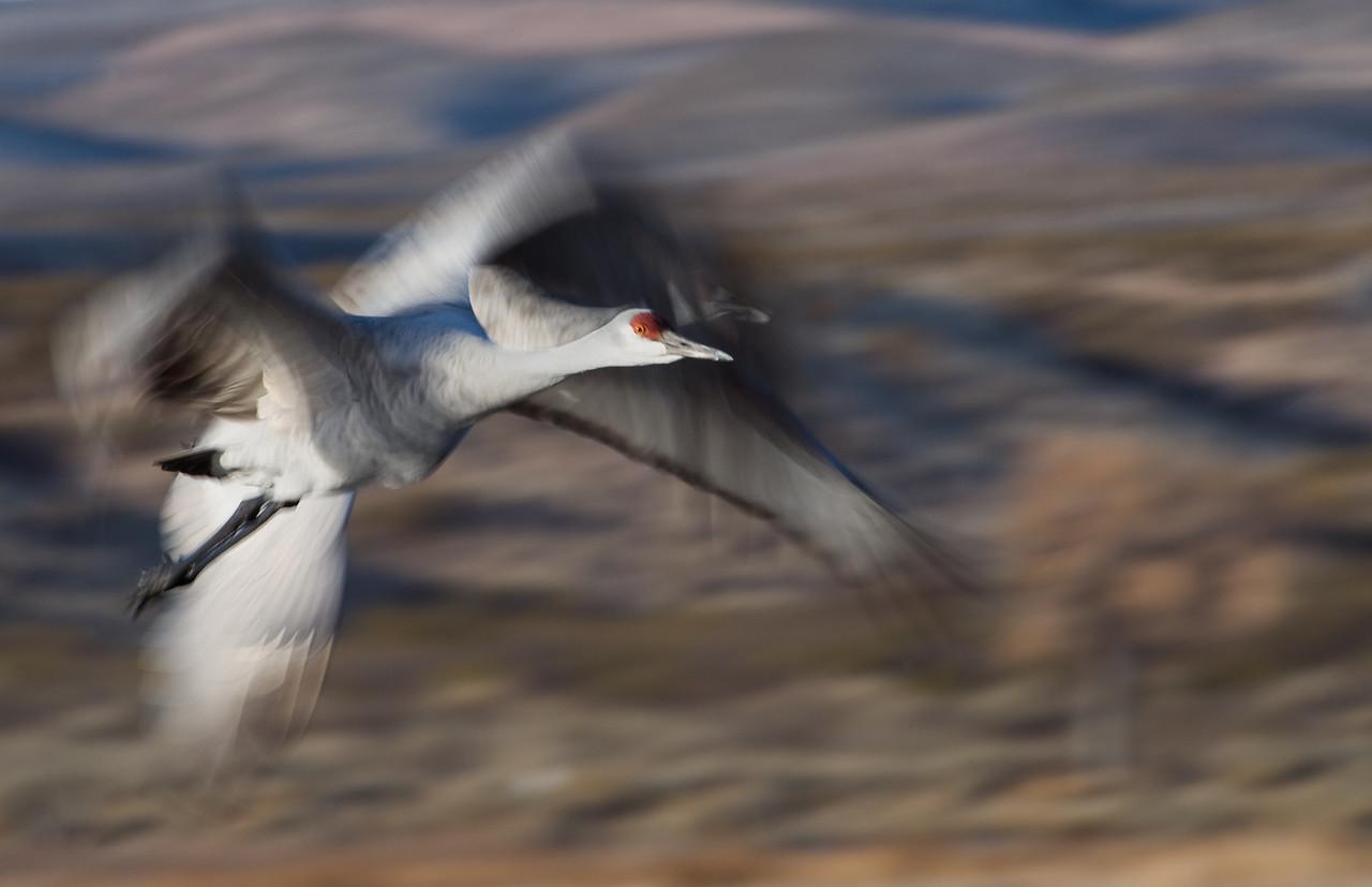 Sandhill Cranes, Bosque de Apache National Wildlife Refuge