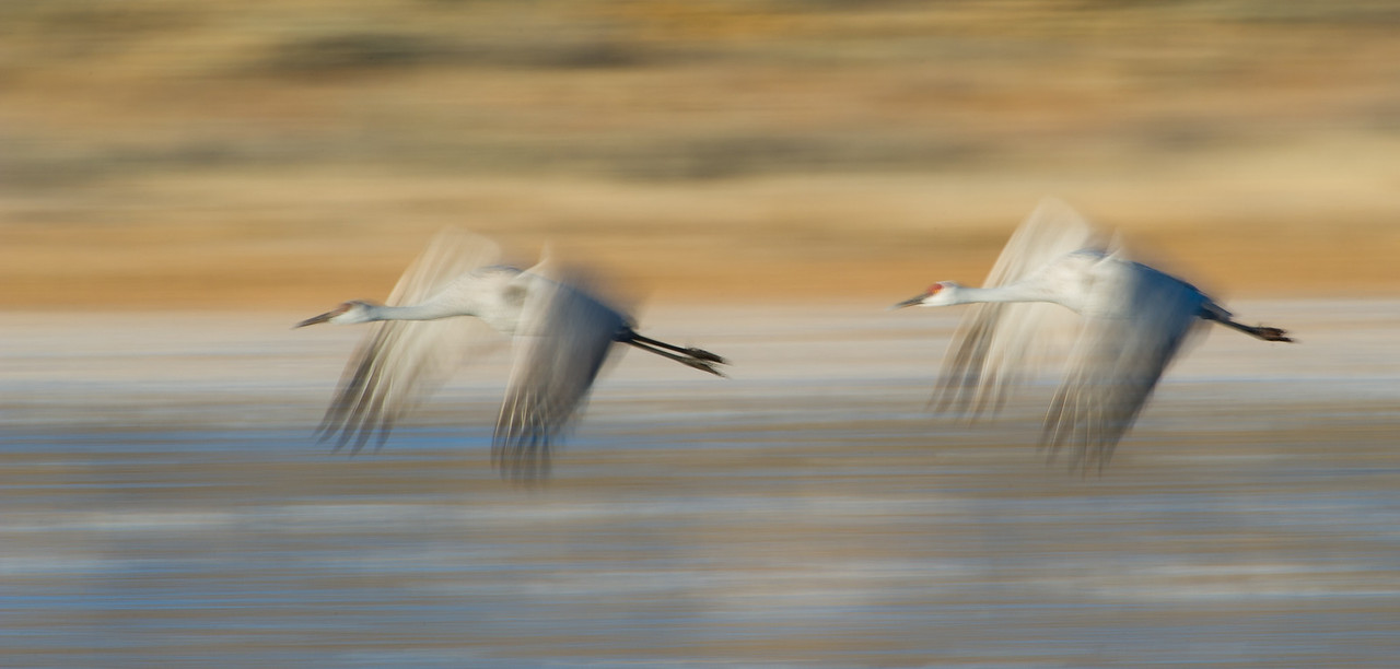 Sandhill cranes, Grus Canadensis, at Bosque del Apache National Wildlife Refuge, New Mexico.