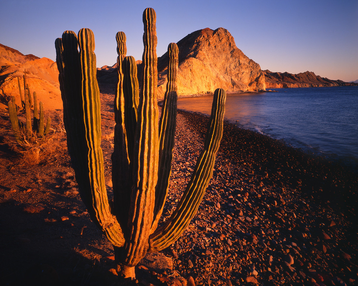 Baja California,IslaAngel, MEX/de la Guarda with the Sea of Cortez in background, Cardon cacti (Pachycereus pringlei) are aglow at sunset. 391h                           aba