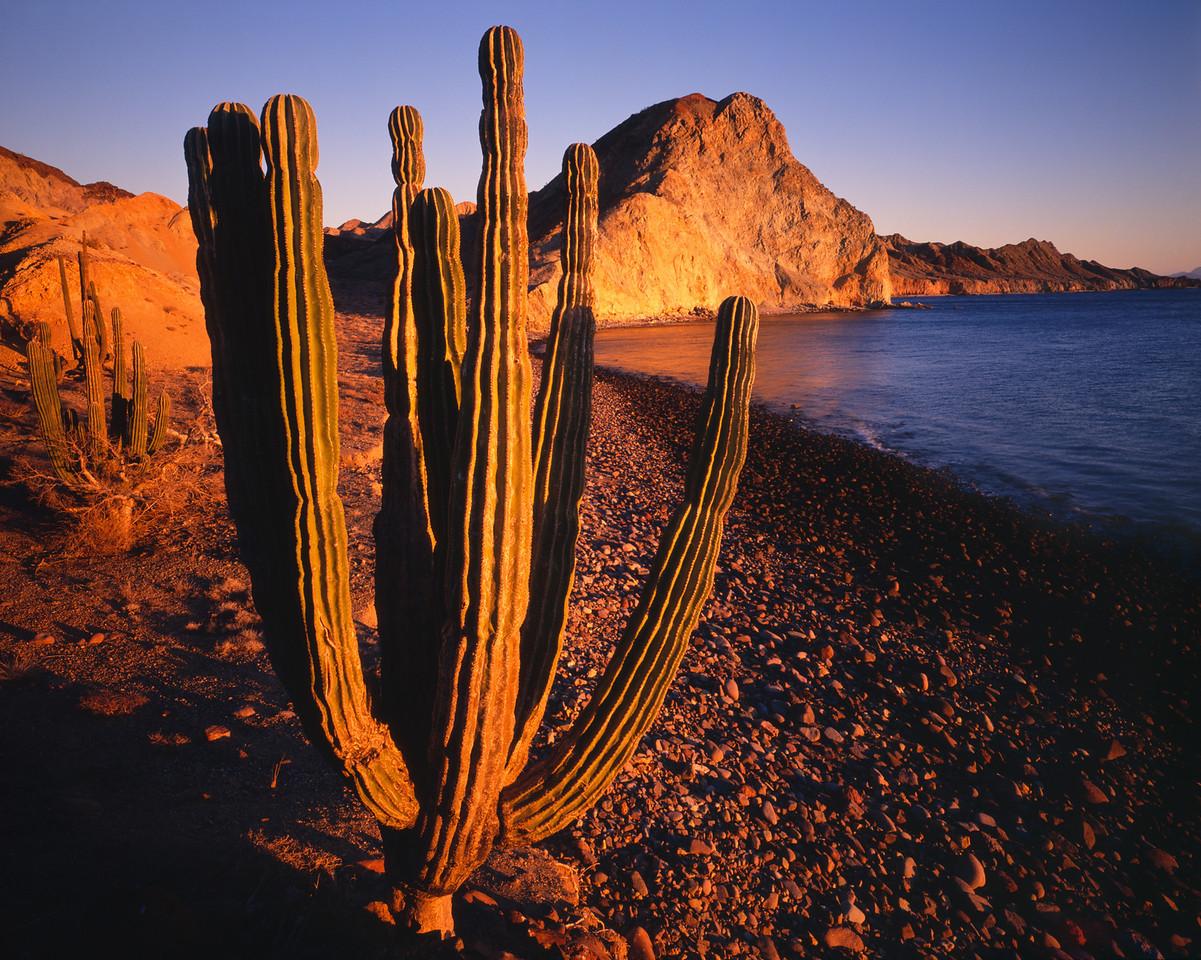 Baja California,IslaAngel, MEX/de la Guarda with the Sea of Cortez in background, Cardon cacti (Pachycereus pringlei) are aglow at sunset. 391h                           aba