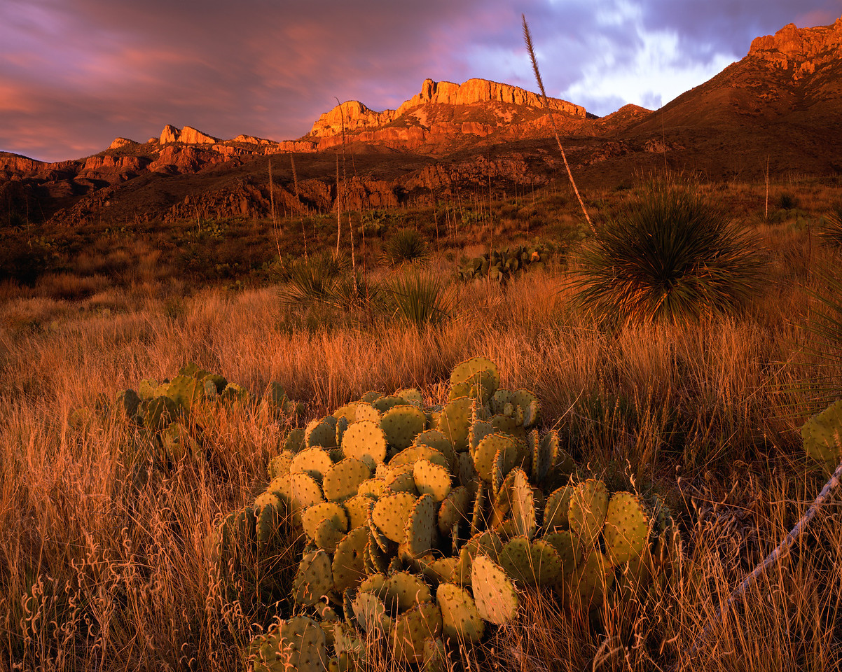 Coahuila, Mexico / Maderas del Carmen Natural Preserve. Soaptree Yucca, Yucca elata, in morning fog. Sierra Carmen. 1204H2