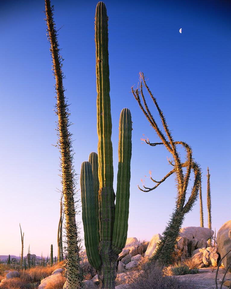 Baja California, Mexico / Desierto Central, granite boulders near Catavina with Senita cactus, Cereus schottii, & Boojum, Fouquieria columnaris, at sunset.306V8