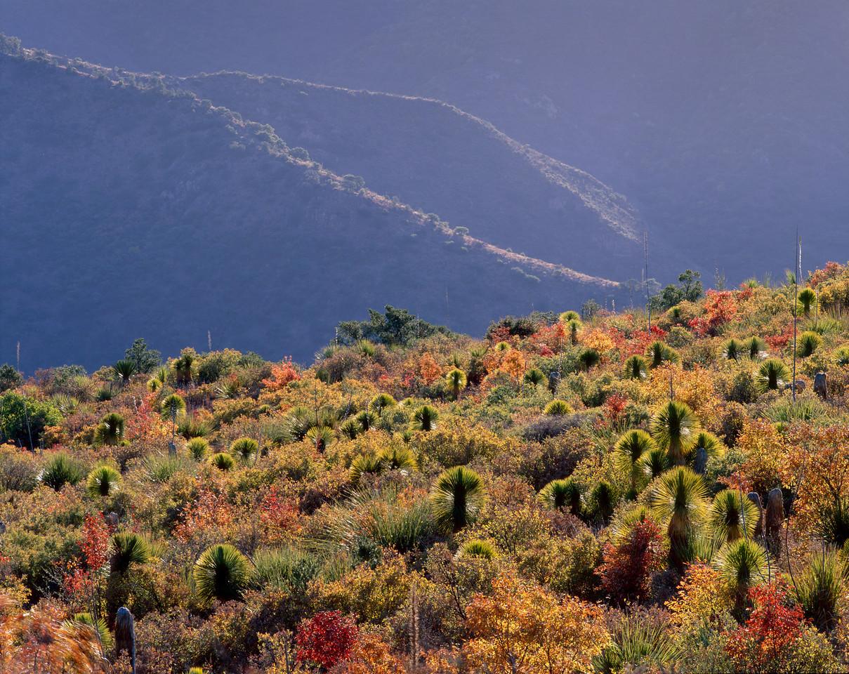 Sierra del Carmen, Coahuila, Mexico / Yuccas, Yucca rostrata, amid fall colored oaks, Quercus sp., in Fronteriza Canyon. 1105H9