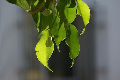 Backlit Ficus Leaves - 1