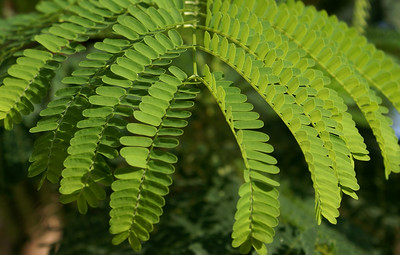 Arching Acacia Leaves