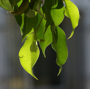 Backlit Ficus Leaves