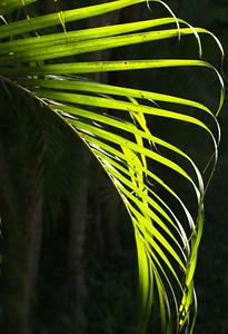 Backlit Frond of Areca Palm
