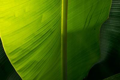 Backlit Banana Leaf - 1