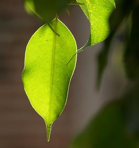 Backlit Ficus Leaves - 2