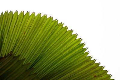 Licuala Palm Leaf by White Wall