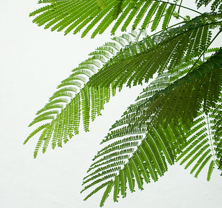 Acacia Leaves and White Wall