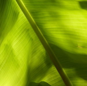 Backlit Banana Leaf - 2
