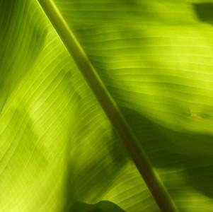 Backlit Banana Leaf - 2