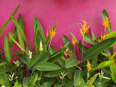 Heliconia by Pink Wall - 1