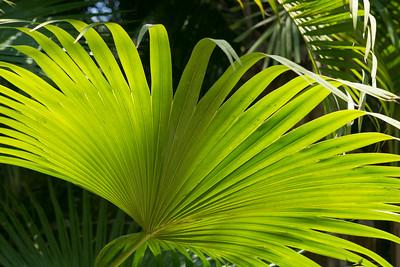 Back-Lit Fan Palm Leaf -2
