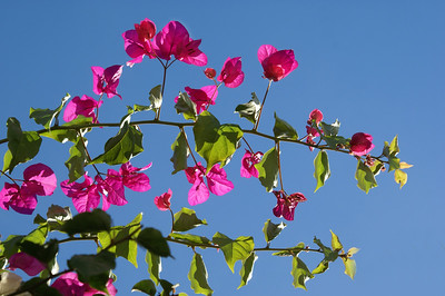 Bright Pink Bougainvillea and Blue Sky