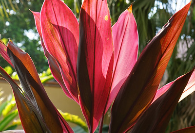 Cordyline Terminalis Red Ti -1