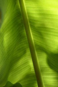 Backlit Banana Leaf - 4