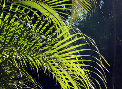 Areca Palm Fronds