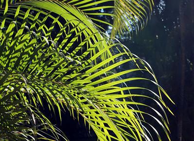 Areca Palm Fronds