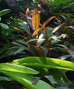 Cordyline and Heliconia