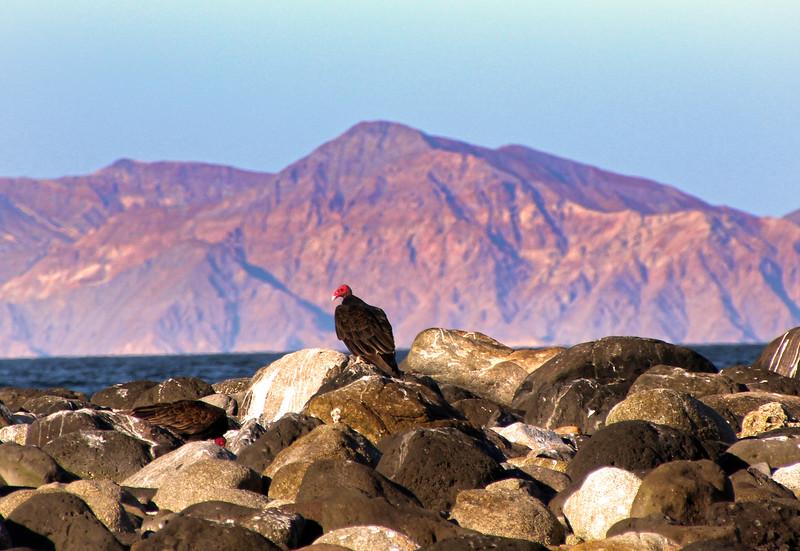 Midriff Islands, Gulf of California, Turkey Vultures