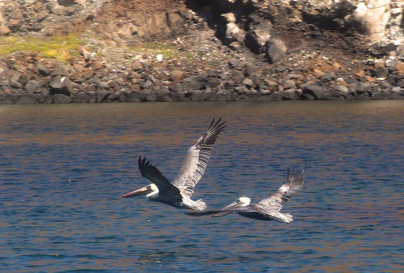 Midriff Islands, Gulf of California, Pelicans in Flight