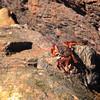 Sally-Lightfoot Crab