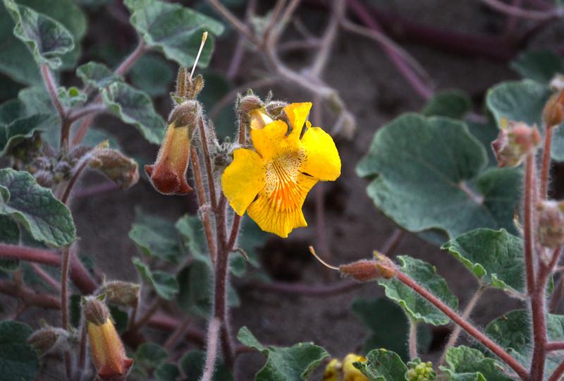 Las Animas Wilderness Lodge, Nature Tour, Delicate Desert Bloom