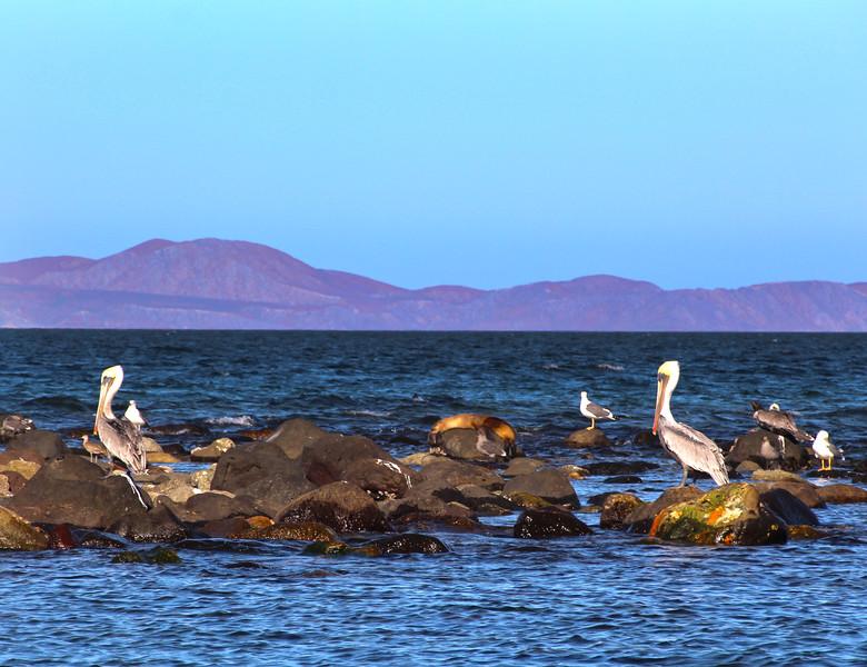 Midriff Islands, Gulf of California, Pelicans