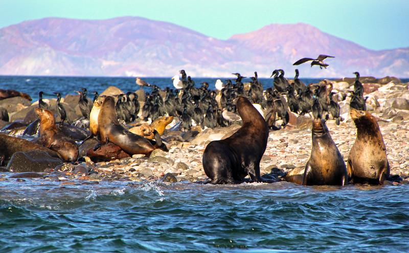 Midriff Islands, Gulf of California, Sea Lions on Rocks