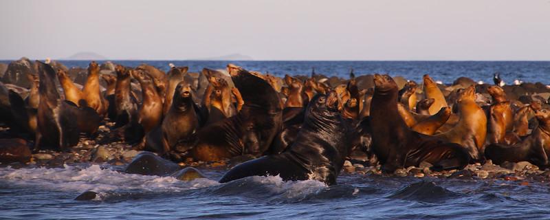 Midriff Islands, Gulf of California, Sea Lion Bulls & Cows Panorama