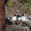 Galapagos Islands,Swallow-tailed Gulls, South Plaza