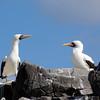 Galapagos Islands, Nazca Boobies, Punta Suarez, Espanola